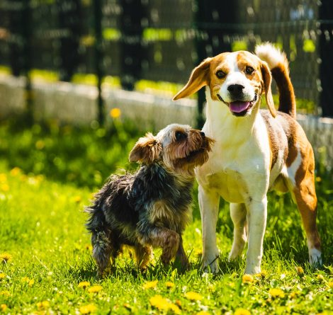 Cute Yorkshire Terrier dog running with beagle dog on gras on sunny day